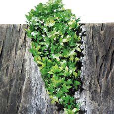 Terrarienpflanze TerraPlanta Congo Efeu - 50cm