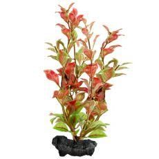 Ludwigia repens ( Red Ludwigia) - Pflanze Tetra 30 cm, L