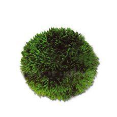 Cladophora aegagropila - Mooskugel 9 cm